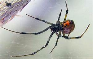 Widow Spiders | VCE Publications | Virginia Tech
