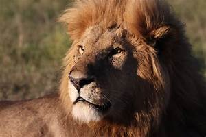 Protect The Pride  Disney Commits To Help Bring Back Lions