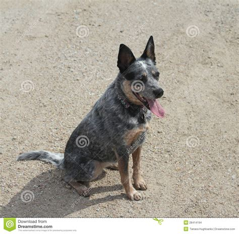 blue tick heeler shedding bluetick coonhound blue heeler breeds picture