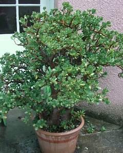 Arbre En Pot : arbre de jade crassula ovata arrosage taille ~ Premium-room.com Idées de Décoration