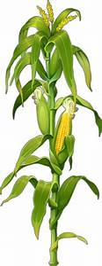 Corn Plant Png | www.pixshark.com - Images Galleries With ...