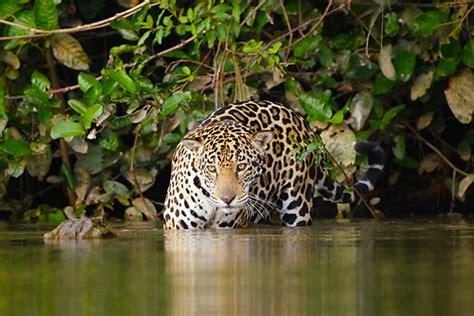Jaguar  Animal Stock Photos Kimballstock