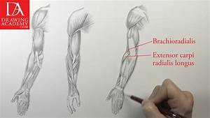 Muscles of an Arm - Video Lesson by Drawing Academy ...