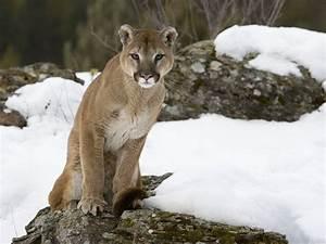 Wild Animal Essence – Mountain Lion | bien-être