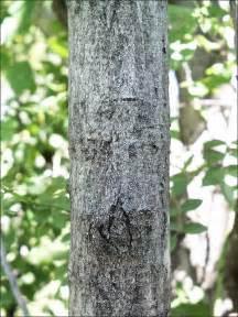Walnut Tree Identification by Bark