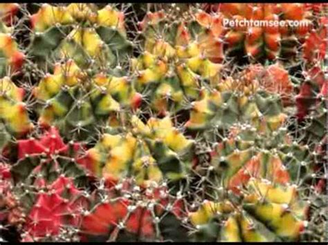 Cactus Thailand - Petchtamsee000 - YouTube
