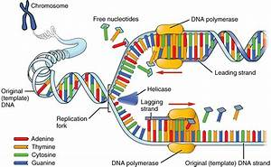 this image shows the process of dna replication a With semiconservative replication involves a template what is the template