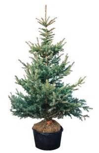 plant preview to choose a living christmas tree think outside the box