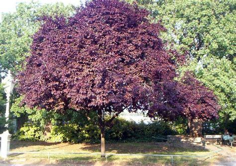 purple leaf flowering plum tree purple leaf plum trees lawn pinterest