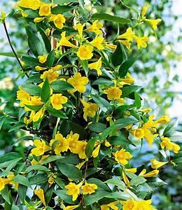 Immergrüne Kletterpflanze Winterhart : gelber duftjasmin kletterpflanzen bei baldur garten ~ Yasmunasinghe.com Haus und Dekorationen