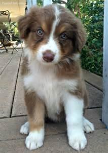Red Tri Australian Shepherd Puppies
