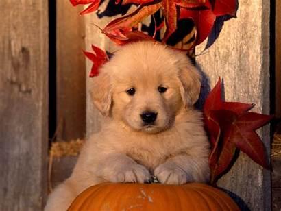 Retriever Golden Puppy Autumn Puppies Wallpapers Fall