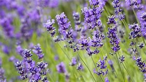 Verholzten Lavendel Schneiden : lavendel schneiden pflanzen und pflegen ~ Lizthompson.info Haus und Dekorationen