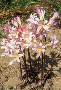 Amaryllis belladonna Naked Ladies flowers