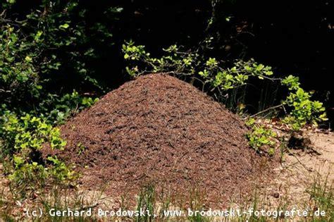 rote ameisen im garten rote ameisen im garten fluch oder