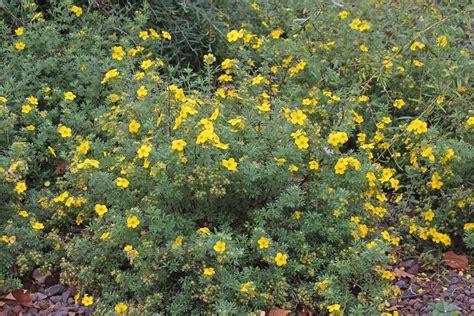 Dasiphora fruticosa