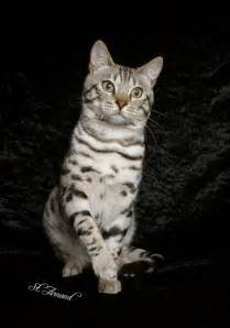 snow bengal cat snow bengal cat miniature tigers