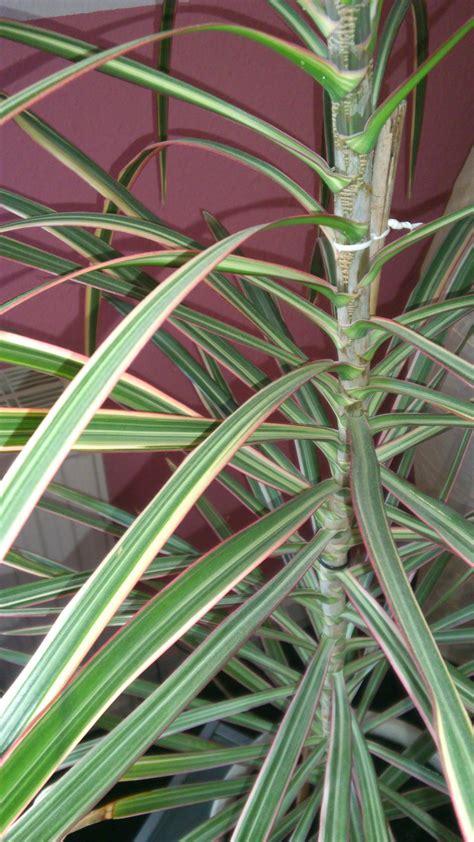 wer kennt den namen meiner zimmerpflanze palme