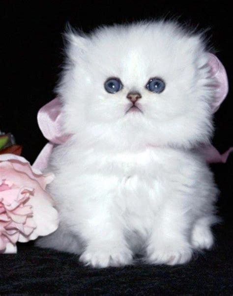17 Best Images About Persian Cats! Cute! On Pinterest