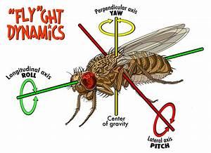 Fruit Fly Flight
