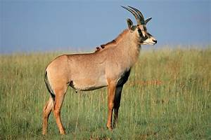 Afrikan Antilope : roan antelope information from marwell the zoo ~ A.2002-acura-tl-radio.info Haus und Dekorationen