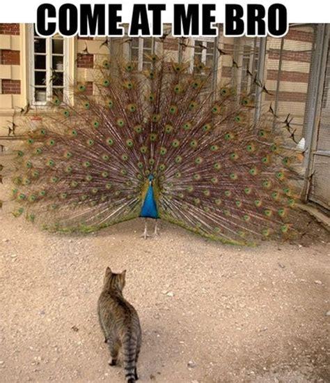 Peacock Meme - irti funny picture 4637 tags peacock cat come at me bro feathers bird