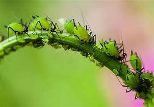 Schädlinge Zimmerpflanzen Klebrige Blätter : sch dlinge an zimmerpflanzen so bek mpfen sie die ~ Lizthompson.info Haus und Dekorationen