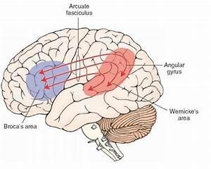 The Thalamus And Cerebral Cortex  Integrative Systems  Part 4