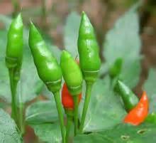Indian Chilis