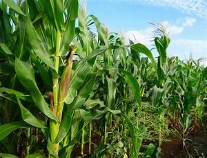 Maize farming production Business Plan, in Nigeria feasibility Study