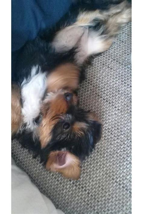 yorkshire terrier weibchen  liebevolle haende abzugeben