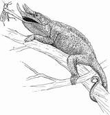 Coloring Lizard Horned Chameleon Designlooter sketch template