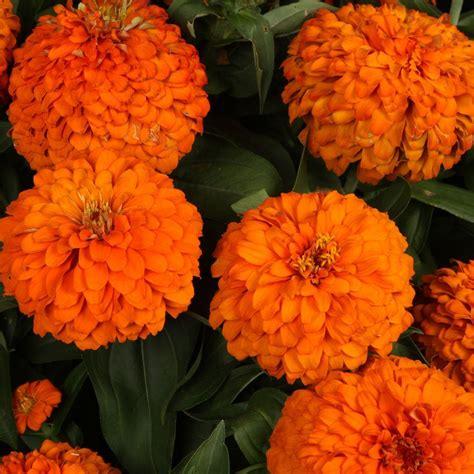 Bright Kitchen Lighting Ideas - proven winners sweet tooth orange slice zinnia live plant orange flowers 4 25 in grande