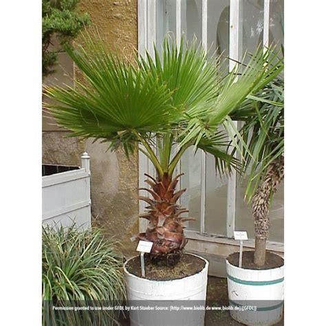 indoor citrus tree a j flynn cotton palm