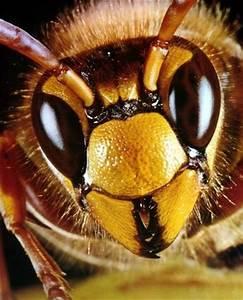 Gift Für Wespen : wespen volk f r einen sommer ~ Whattoseeinmadrid.com Haus und Dekorationen