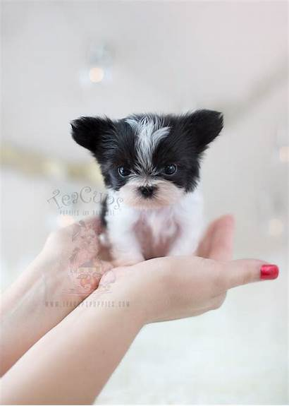 Teacup Puppies Puppy Ki Miki Mi Teacups