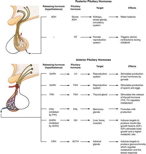 173 The Pituitary Gland And Hypothalamus Anatomy And