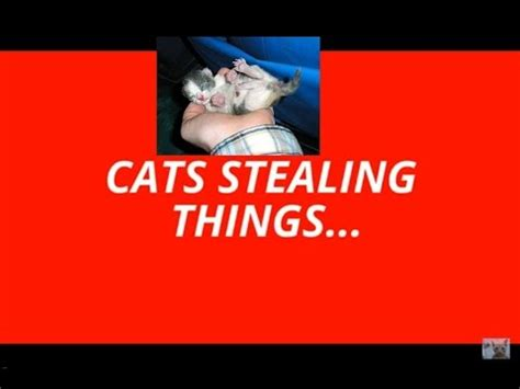 cats stealing food   cat thieves youtube