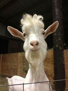 billy goat will beard and hairstyle luvbat