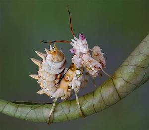 9 of the most absurd-looking mantis species | MNN - Mother ...