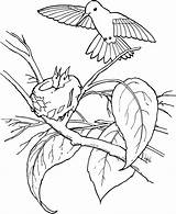 Hummingbird Coloring Pages Printable Bird Sheets sketch template