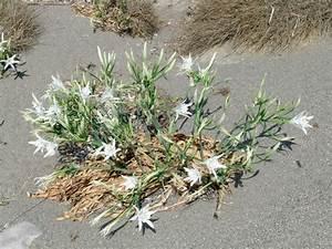 Pflanze Mit Fleischigen Blättern : narzissengew chse amaryllidoideae ferienh user in azalas ~ Buech-reservation.com Haus und Dekorationen