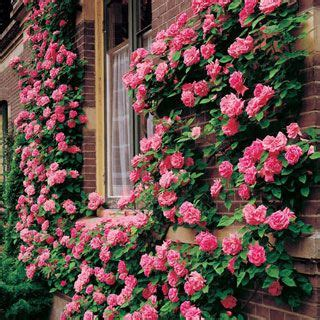 Zephirine Drouhin Climbing Rose, Performs Well In Partial