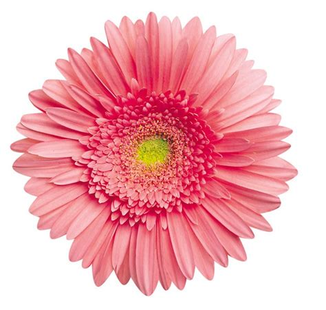 Pink Gerbera Daisy Shaped Puzzle