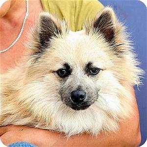 Colby | Adopted Dog | A029127 | Berkeley, CA | Pomeranian ...