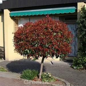 Red Robin Hochstamm : hochstamm glanzmispel red robin 100 125cm photinia ~ Michelbontemps.com Haus und Dekorationen