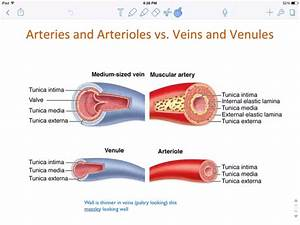 How Do The Different Types Of Blood Vessels Differ
