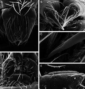 Neotrops Darwini  New Species  Female  Pbi Oon 14976   A