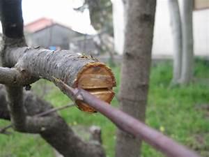 Walnussbaum Selber Pflanzen : spaltpropfen pflanzenveredelung ~ Michelbontemps.com Haus und Dekorationen