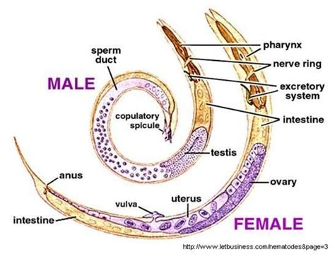 17 Best Images About Chapter 2 Nematoda On Pinterest